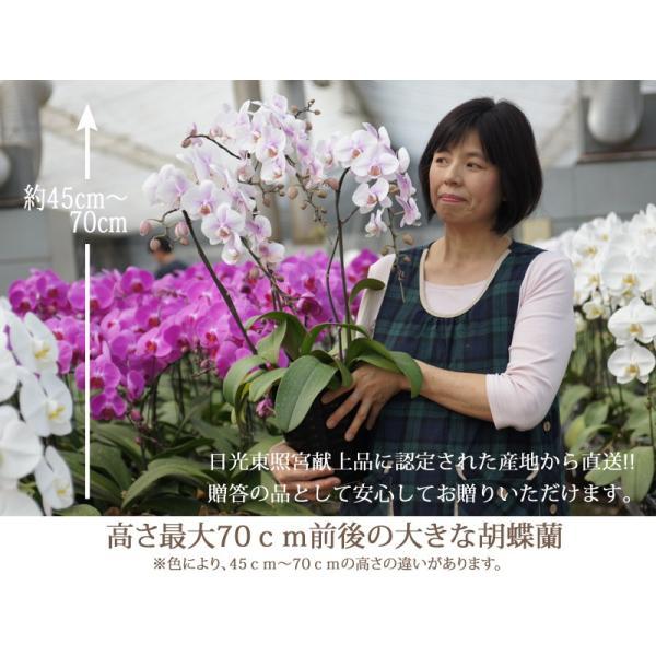 胡蝶蘭ランキング1位 3本立ち 明日贈れる 贈答用 お祝い ギフト お供え|kihana-shop|03