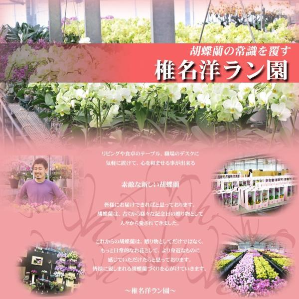 世界ラン展多数受賞!椎名洋ラン園のママドール3本立 kihana-shop 02