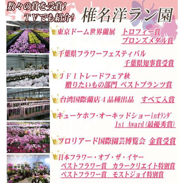 世界ラン展多数受賞!椎名洋ラン園のママドール3本立 kihana-shop 03