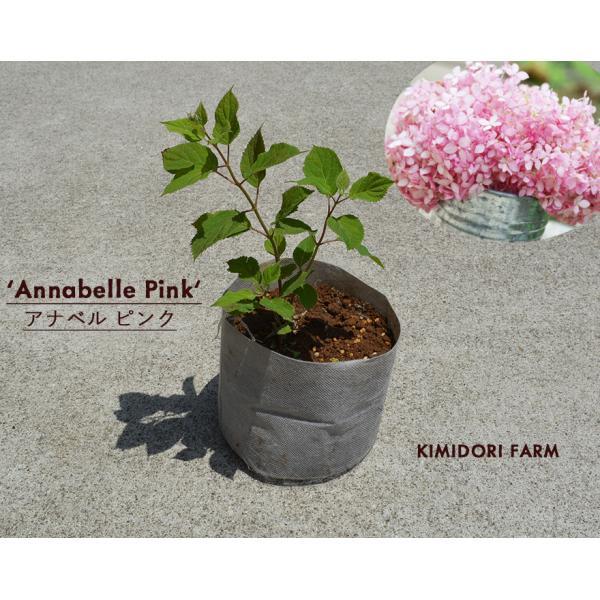 ピンク アナベル 母の日 プレゼント 植木 庭木 低木 花が咲く ガーデニング 大苗|kimidori-onlineshop