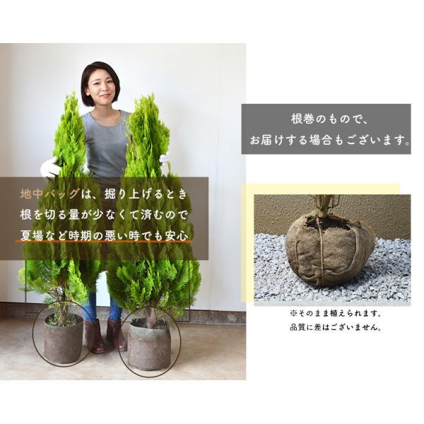ピンク アナベル 母の日 プレゼント 植木 庭木 低木 花が咲く ガーデニング 大苗|kimidori-onlineshop|05