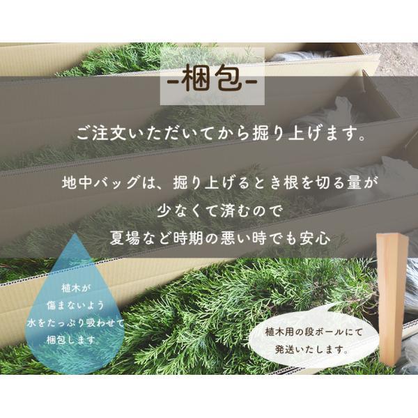 ピンク アナベル 母の日 プレゼント 植木 庭木 低木 花が咲く ガーデニング 大苗|kimidori-onlineshop|06