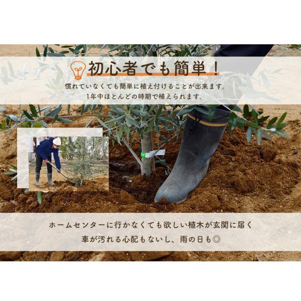 ピンク アナベル 母の日 プレゼント 植木 庭木 低木 花が咲く ガーデニング 大苗|kimidori-onlineshop|09