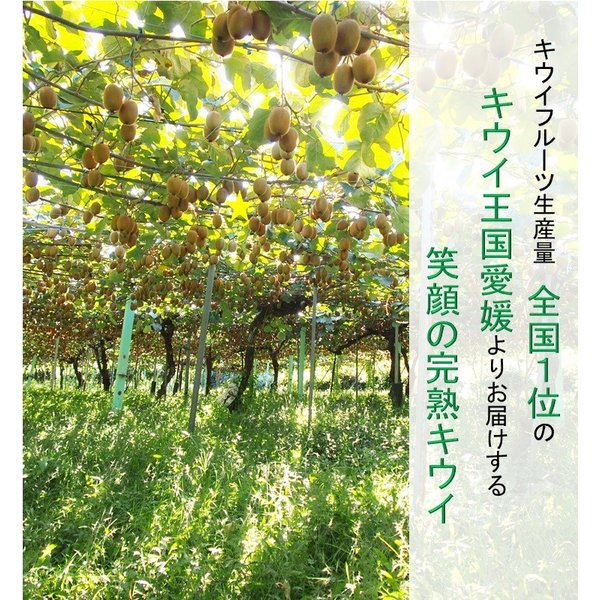 キウイフルーツ グリーンキウイ ヘイワード 約2.5kg入り 23〜28個入り 農家直送 愛媛県産|kirari-fruits-farm|02