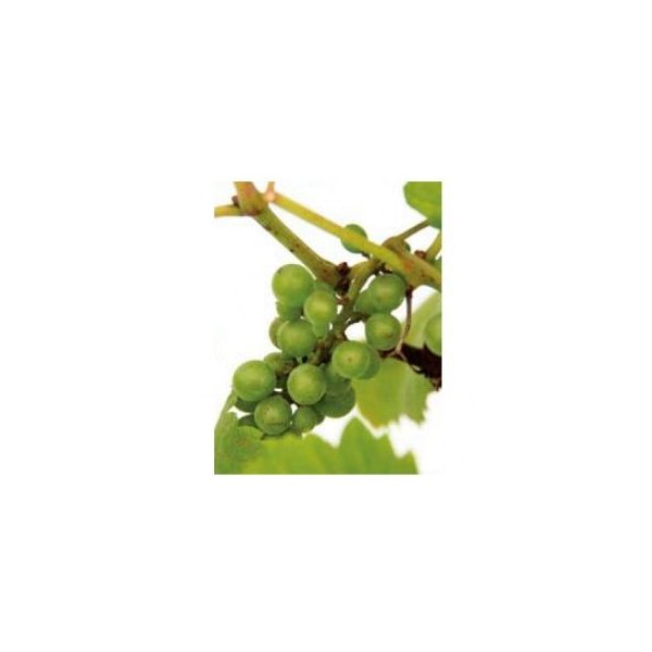オンリーワン 長尺ツル性植物 ブドウ・デラウェア UN6-TBDW