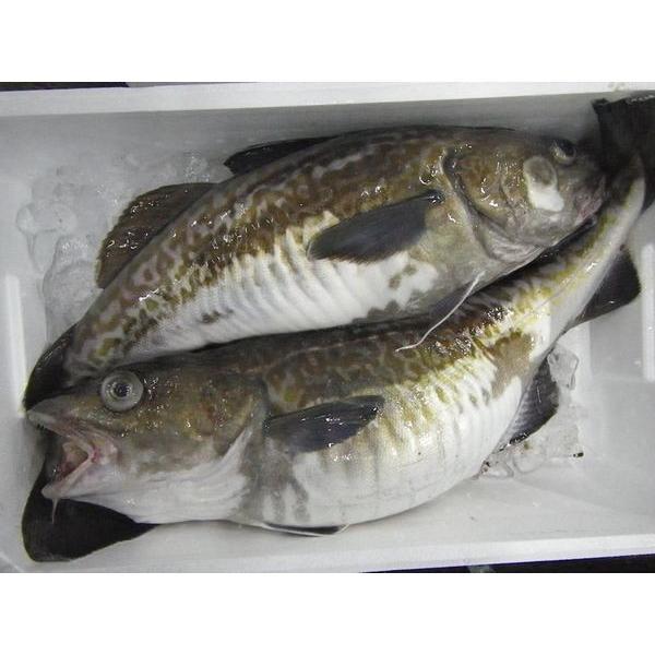 北海道産生真鱈タラメス3kg以上1尾