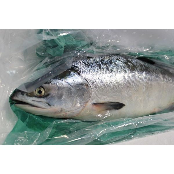 貴重な北海道産時鮭ときしらず