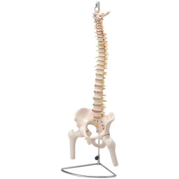 人体模型シリーズ 大腿骨付脊髄帯神経整体模型 ko-te-ya