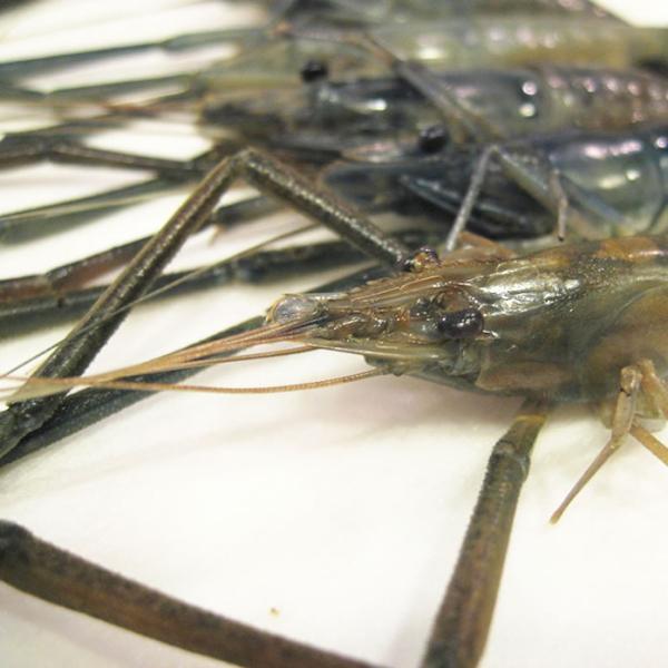 天然手長えび 冷凍 500g|kochi-bussan