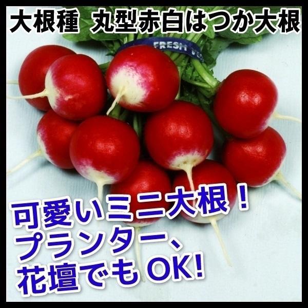 野菜たね 種 ダイコン 丸型赤白二十日大根 1袋(8ml) / 大根 大根の種 ダイコンの種 ハツカダイコン ラディッシュ 野菜の種 国華園|kokkaen