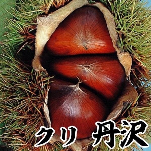 栗 苗木 丹沢 1株 / くり苗 栗の木 果樹苗 国華園