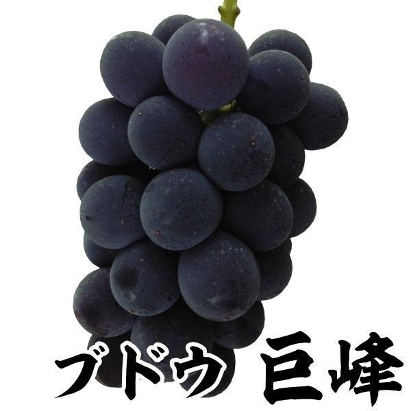 ブドウ 苗木 巨峰 1株 / 葡萄 苗 ぶどうの木 ブドウの苗木 果樹苗 国華園