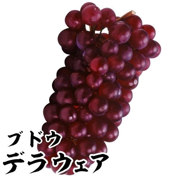 ブドウ 苗木 デラウェア 1株 / 葡萄 苗 ぶどうの木 ブドウの苗木 果樹苗 国華園