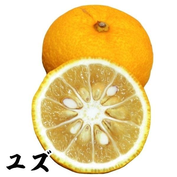 ユズ 苗木 1株 / 柚子 ゆず 苗 ゆずの木 柑橘 果樹苗 国華園