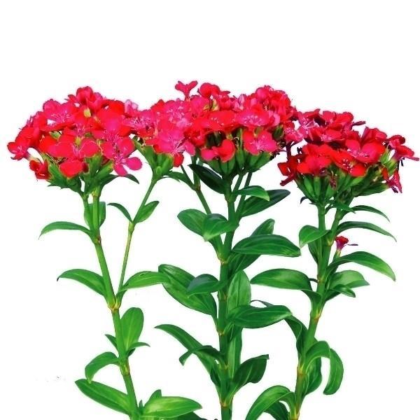 種 花たね ナデシコ 赤梅 1袋(100粒)