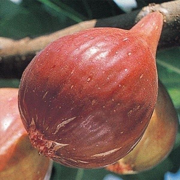 無花果・桝井ドーフィン