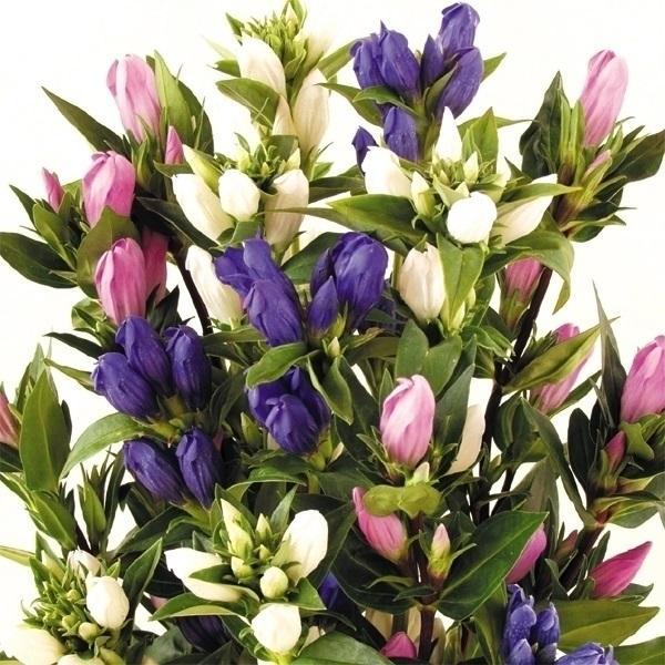 花苗 リンドウ 3色セット 3種3株