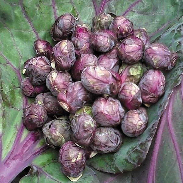 キャベツ 種 野菜たね レッドブル 1袋(0.5ml) / 野菜のタネ 野菜 種子 キャベツの種 タネ 【YTC15】 国華園