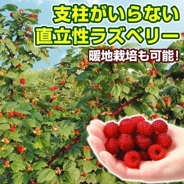 木苺・ウルトララズベリー 超大玉