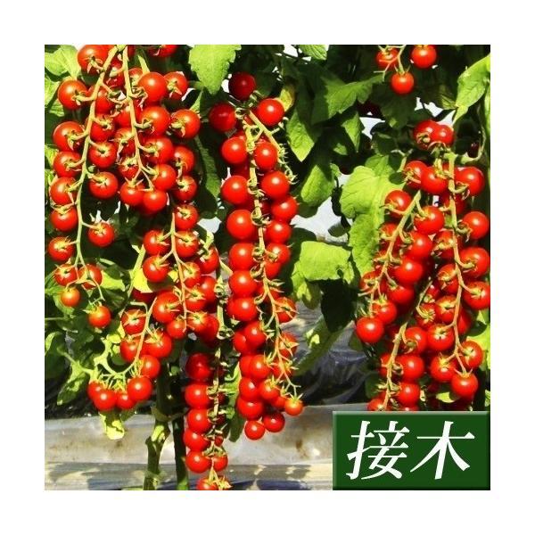 接木野菜苗 ミニトマト 接木F1TYあまちゃん 2株 / やさい 苗 家庭菜園 つぎき|kokkaen