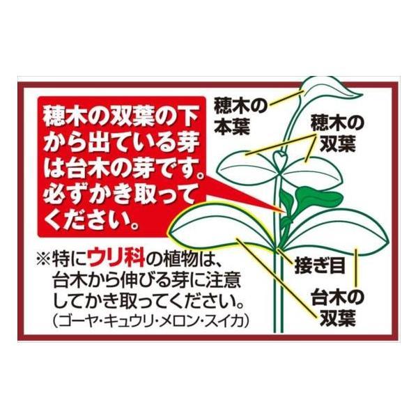 接木野菜苗 ミニトマト 接木F1TYあまちゃん 2株 / やさい 苗 家庭菜園 つぎき|kokkaen|02