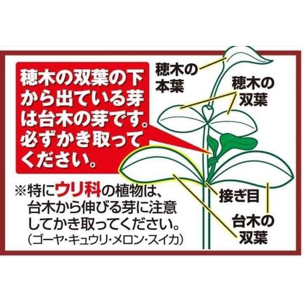 接木野菜苗 ミニトマト 接木F1TYあまちゃん 4株 / やさい 苗 家庭菜園 つぎき|kokkaen|03