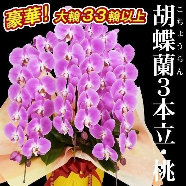 胡蝶蘭 3本立コチョウラン 桃色系33輪以上 1鉢 送料込