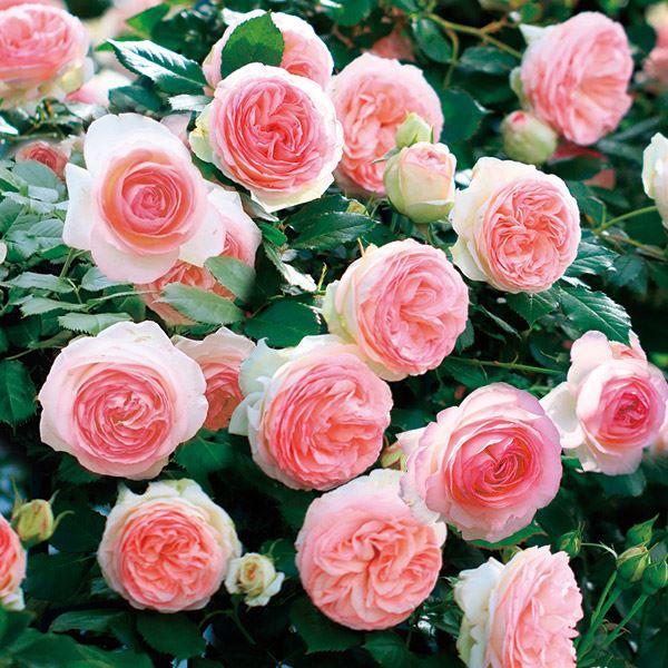 バラ苗 つるバラ ピエールドゥロンサールR 1株 /薔薇 殿堂入り 返り咲き CL 花木