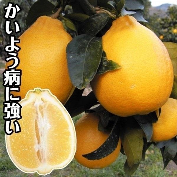 レモン 苗木 璃の香P 1株 / 檸檬 レモンの木 レモン苗 柑橘 果樹苗 国華園