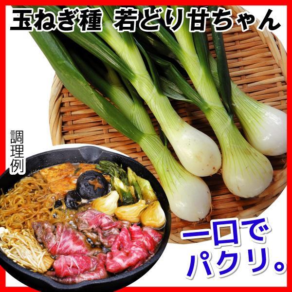 種 野菜たね 玉ねぎ 若どりあまちゃん 1袋(5ml)|kokkaen
