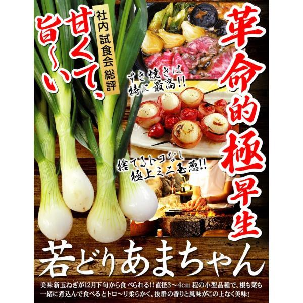 種 野菜たね 玉ねぎ 若どりあまちゃん 1袋(5ml)|kokkaen|02