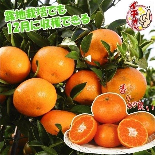 みかん 苗木 西南のひかりPVP 1株 / みかん苗 みかんの木 オレンジ 柑橘 果樹苗 国華園