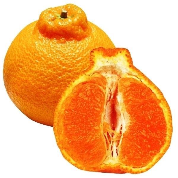 みかん 苗木 不知火 (しらぬひ) 1株 / デコポン 苗 しらぬい ミカンの木 オレンジ 柑橘 果樹苗 国華園