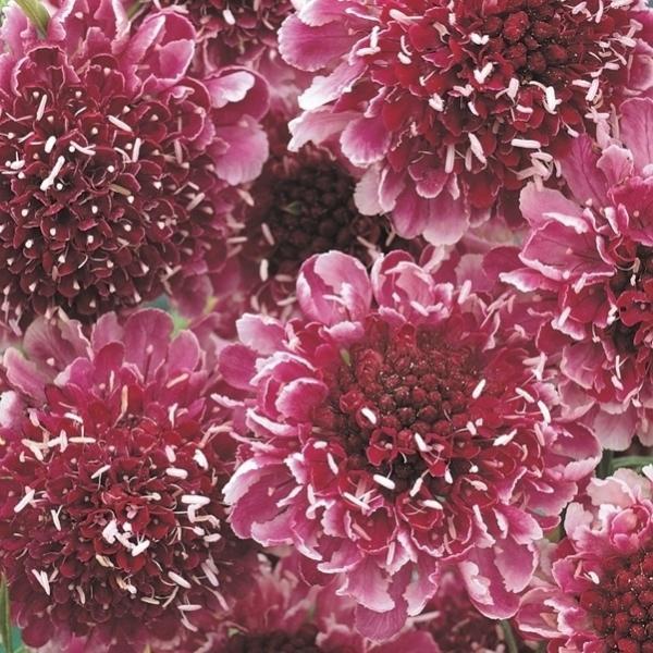 花たね スカビオサ 濃赤 1袋(50粒) / タネ 種|kokkaen
