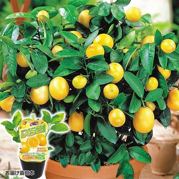 レモン21