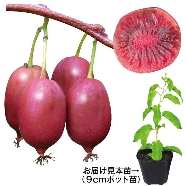 鉢植え向き果樹苗 ベビーキウイ パープルシャドー 2株 / ミニキウイ 山菜苗 有用植物苗 家庭菜園