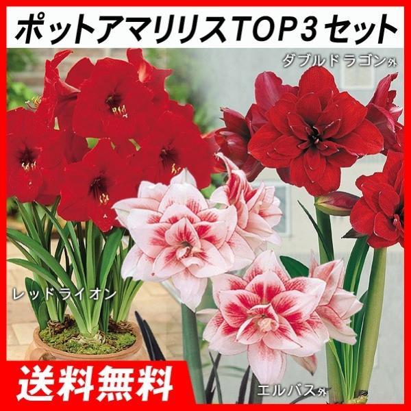 ポットアマリリス TOP3セット 3種3箱 / あまりりす 送料無料 国華園|kokkaen