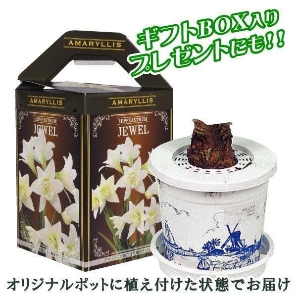 ポットアマリリス TOP3セット 3種3箱 / あまりりす 送料無料 国華園|kokkaen|02