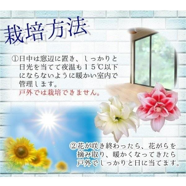 ポットアマリリス TOP3セット 3種3箱 / あまりりす 送料無料 国華園|kokkaen|03