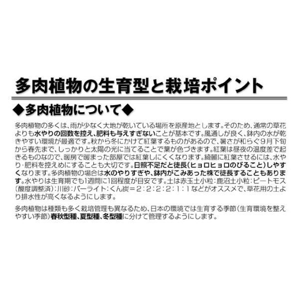 多肉植物 苗 セダム 虹の玉 2株 / たにく インテリアプランツ 国華園|kokkaen|02