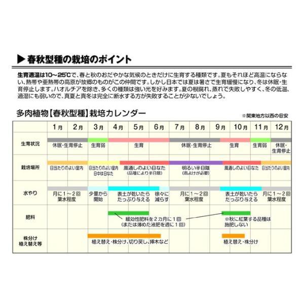 多肉植物 苗 セダム 虹の玉 2株 / たにく インテリアプランツ 国華園|kokkaen|03