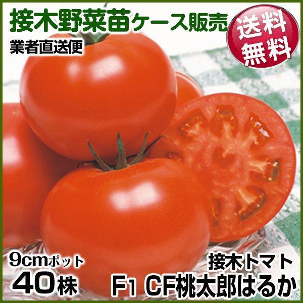 野菜苗ケース販売 トマト 接木F1CF桃太郎はるか 11月発送 1ケース(40株入) 送料無料 /業者直送便