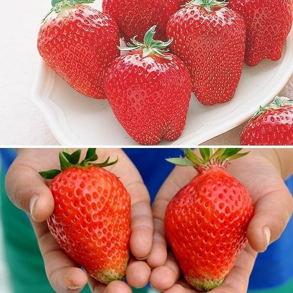 いちご苗 超大粒イチゴセット 2種6株 / 苺 苺苗 ストロベリー 家庭菜園