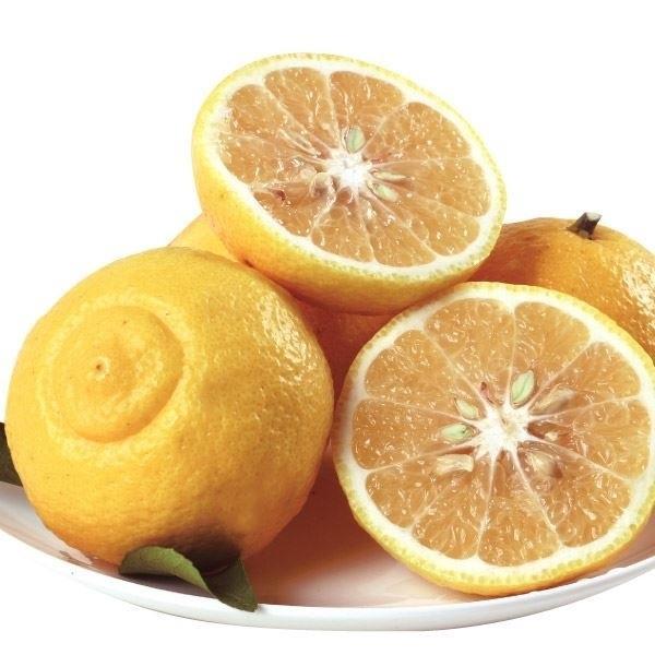 みかん 苗木 はるか 1株 / みかん苗 みかんの木 オレンジ 柑橘 果樹苗 国華園