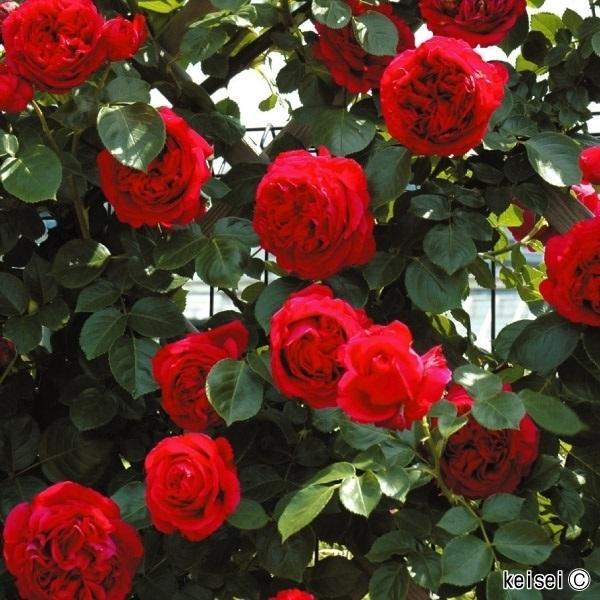 バラ苗 つるバラ ルージュ ピエール ドゥ ロンサールR PVP 1株 / バラの苗木 薔薇 バラ 赤 CL 花木 芳香性
