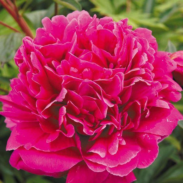 芍薬 苗 カンサス 1株 / シャクヤク 花の苗 花木 ピオニー シャクヤクの花