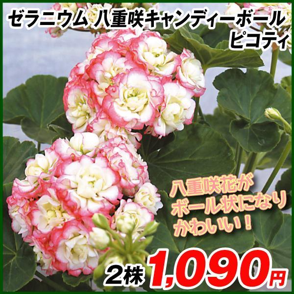 花苗 ゼラニウム 八重咲キャンディーボール ピコティ 2株
