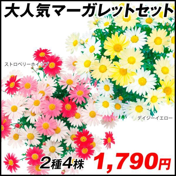 マーガレット 苗 大人気マーガレットセット2種4株 マーガレットの苗 マーガレットの花 花苗 花の苗