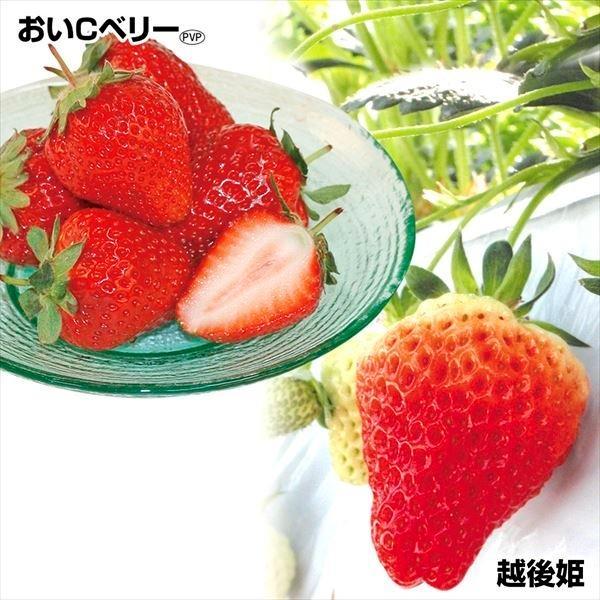 いちご苗 ジューシーイチゴセット 2種6株 / 苺 苺苗 ストロベリー 家庭菜園