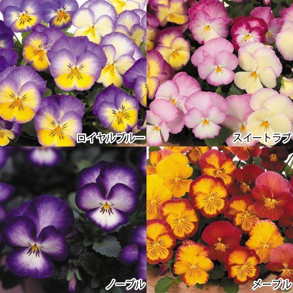 花苗 パンジー 虹色スミレRセット 4種8株